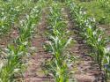 Предлагането на царевица се очаква да достигне 3,4 млн тона през 2015 година