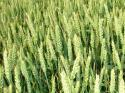 Перспективни сортове хлебна пшеница на фирма Агроном