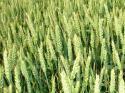 Отваря се пазар за твърда пшеница