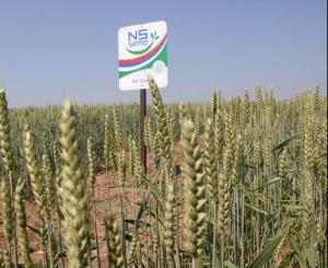 илина пшеница