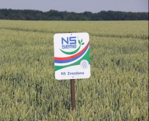 пшеница звездана