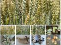 Твърда главня по пшеница