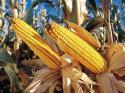 Болести по царевицата през юни - Практично земеделие бр. 6