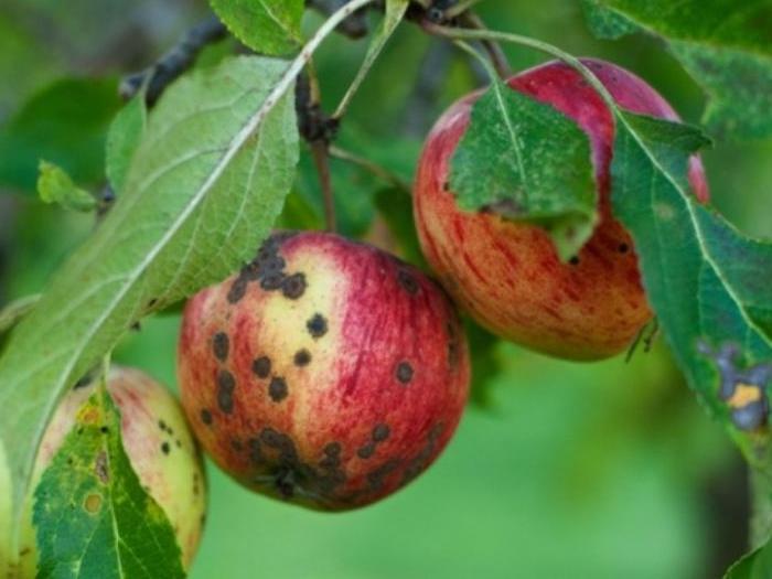 Струпясване по ябълка - Бюлетин за растителна защита 5 / 2014 април