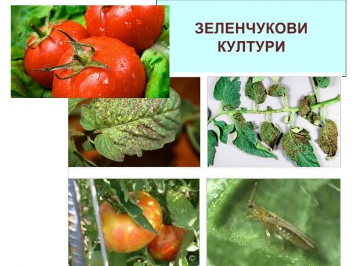 Борба с болести и неприятели по домати, пипер, лук и зеле през юни