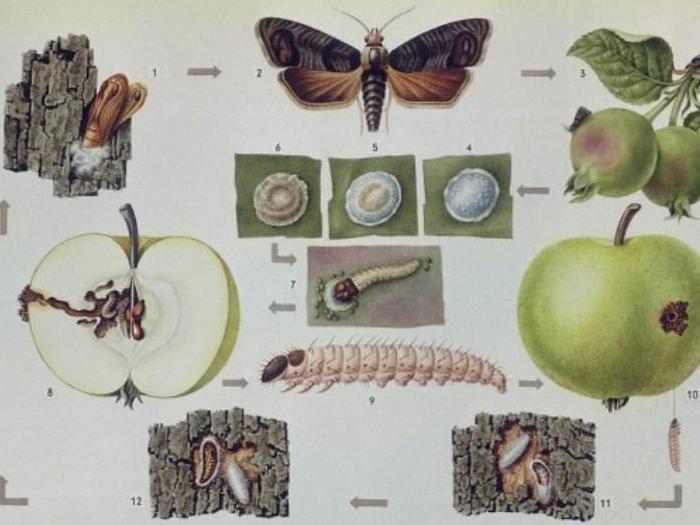 Ябълков плодов червей - цикъл на развитие