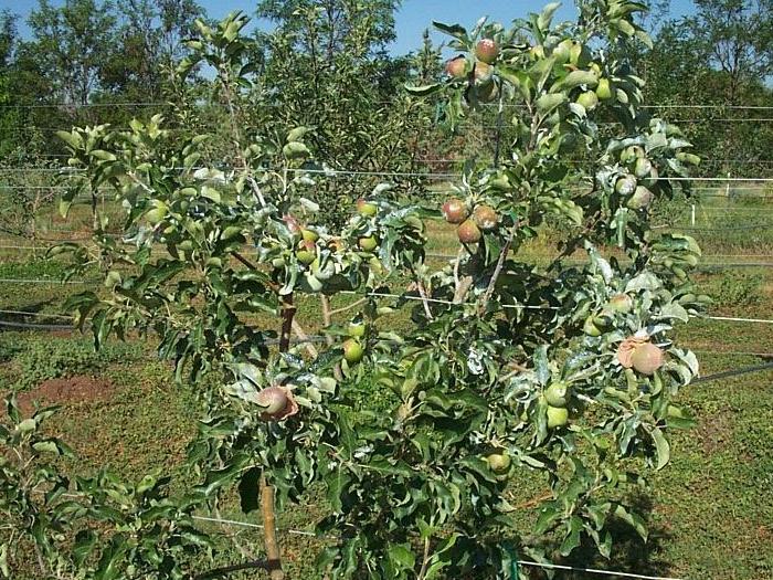 Растителна защита при овощните култури и лозя в началото на юли