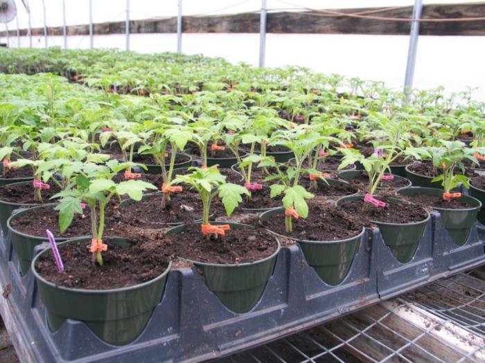 Премахнете върховете на ранните домати, за да узреят по-бързо - Добри съвети през юни за градинаря
