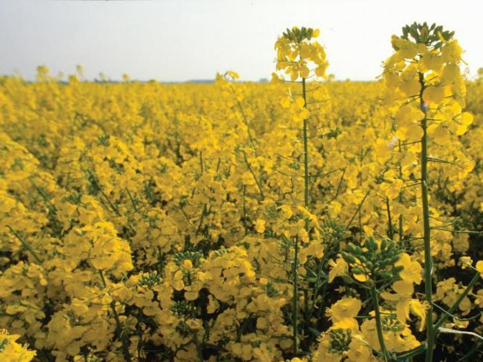 Увеличаването на площите с рапица  в Източна Европа, ще се компенсира със спад във водещи производители