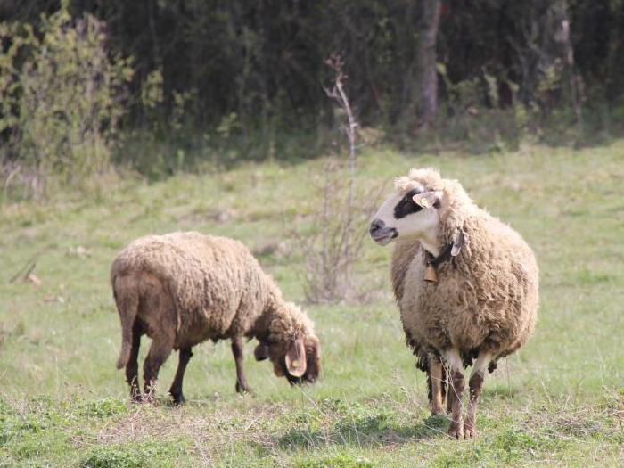 По 40 лв. преходна национална помощ за овца или коза-майка