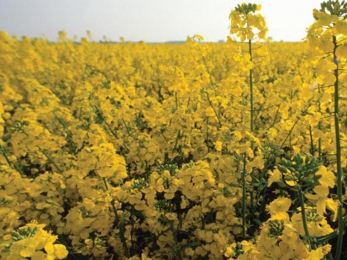 Strategie  Grains  намали прогнозата си за реколтата от рапица в ЕС