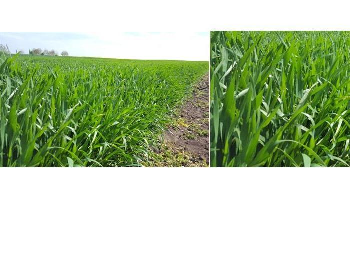 Ефективни технологии в пшеница и ечемик