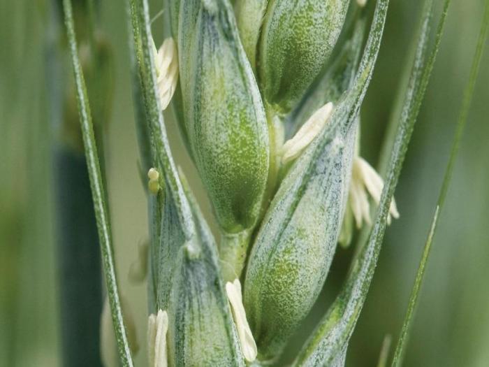 Отлични добиви от сортовете пшеница на Синджента