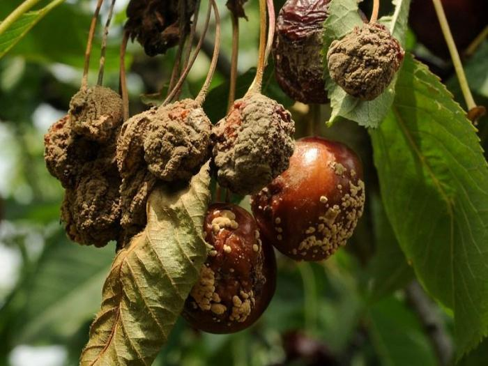 Цъфтежните пръскания в овощната градина не са за подценяване