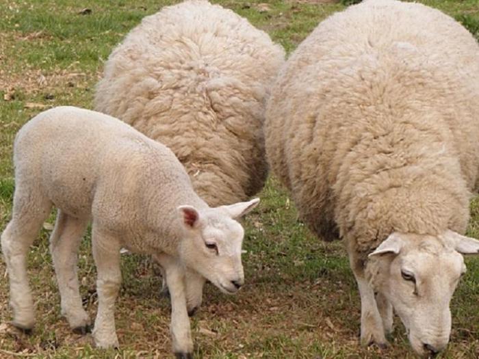 Право на подпомагане по схемата за отглеждане на овце-майки и кози-майки в икономически уязвими общини в Южна България