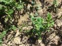 Как да предпазим картофите от Картофена мана и алтернария  по картофи