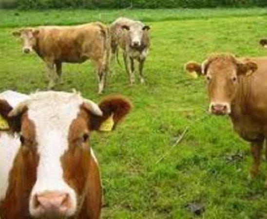 Право на подпомагане по схемата за специфично подпомагане за крави с бозаещи телета има земеделски стопанин