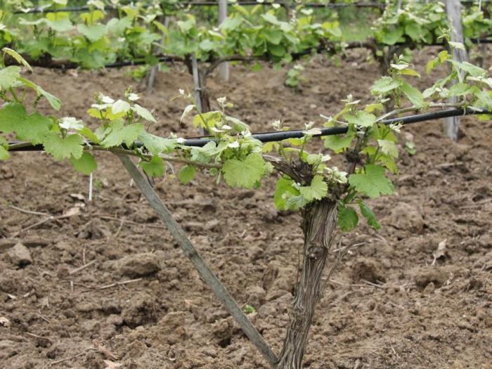 Помощ от Национална програма за подпомагане на лозаро-винарския сектор се отпуска за презасаждане без промяна на местонахождението на лоз