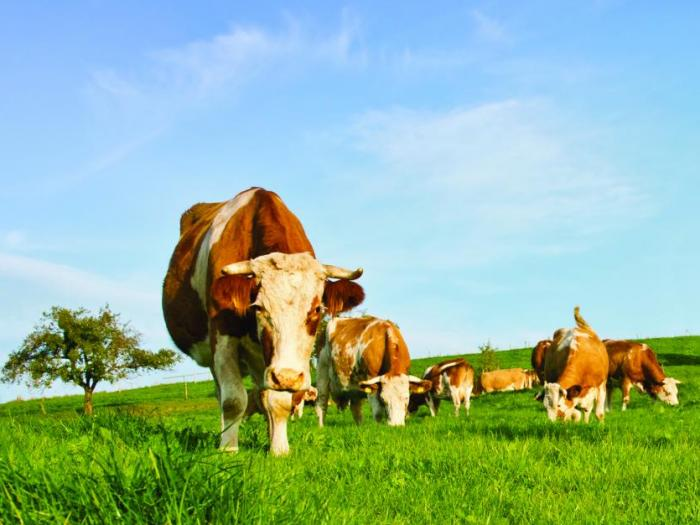 На 30-и и 31-и май в Сливен ще се проведе поредното издание на националното изложение на говедовъдите.