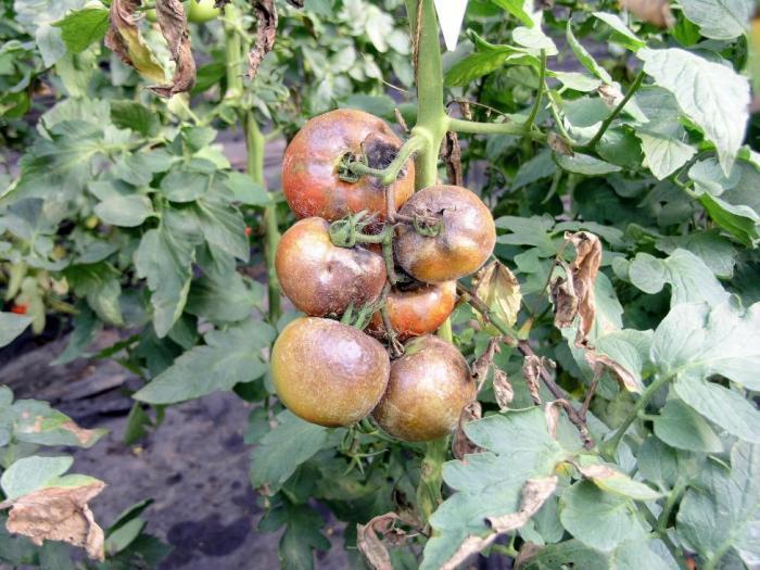 Борба и препарати за борба с болестите и вредителите по зеленчуковите култури в края на юни