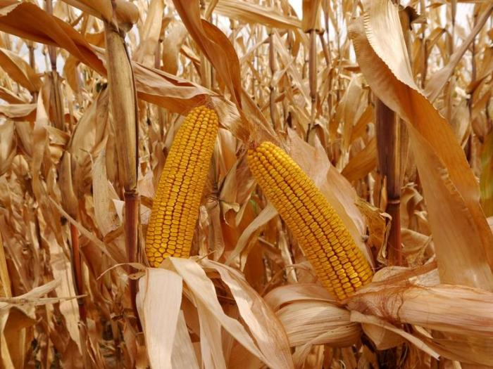 Използването на царевица като втора