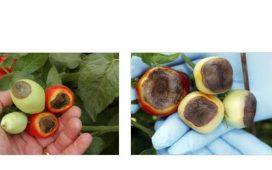 Симптомите се наблюдават по плодовете