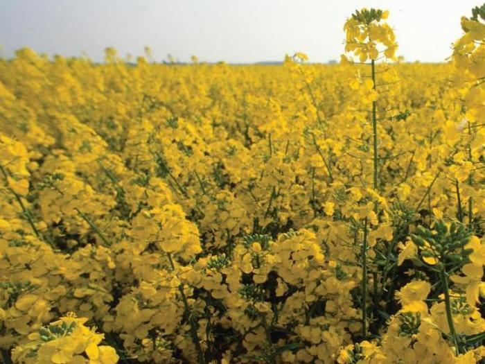 Липсата на достатъчно влага кара фермерите у нас да презасаждат с пшеница полетата засети с рапица