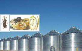 В складовите бази зърното се напада от гъгрици