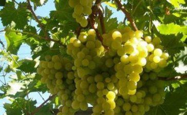 Българският призводител трябва да се ориентира към производство на бели сортове грозде
