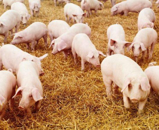 Болестта може да причини сериозни икономически вреди на фермерите