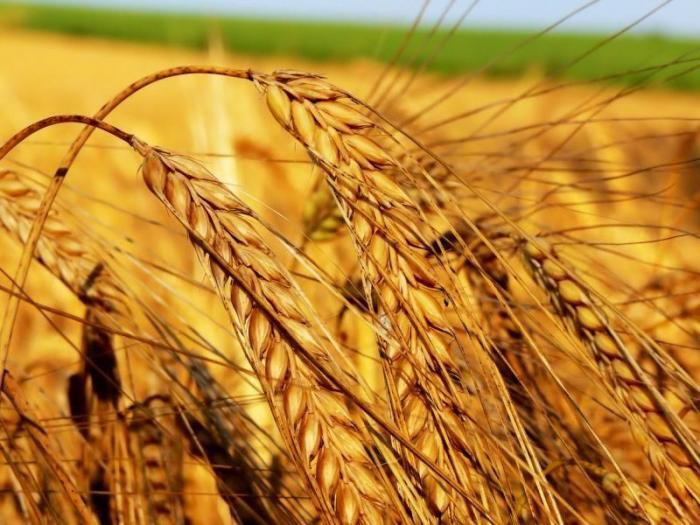 Според търговски източници провеждането на подобен мащабен търг е свързано с висока вероятност от рязко намаление на добивите от основните зърнени култури в страната вследствие на силната суша.