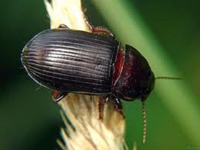 Растителна защита: Обикновен житен бегач – Zabrus tenebrioides Goeze.
