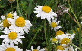 Едногодишен зимно - пролетен плевел