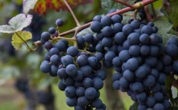Очаква се качествено грозде и високи добиви в района на Хасково