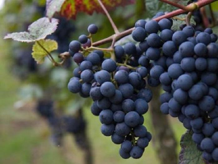 170 000 тона е реколтата от грозде