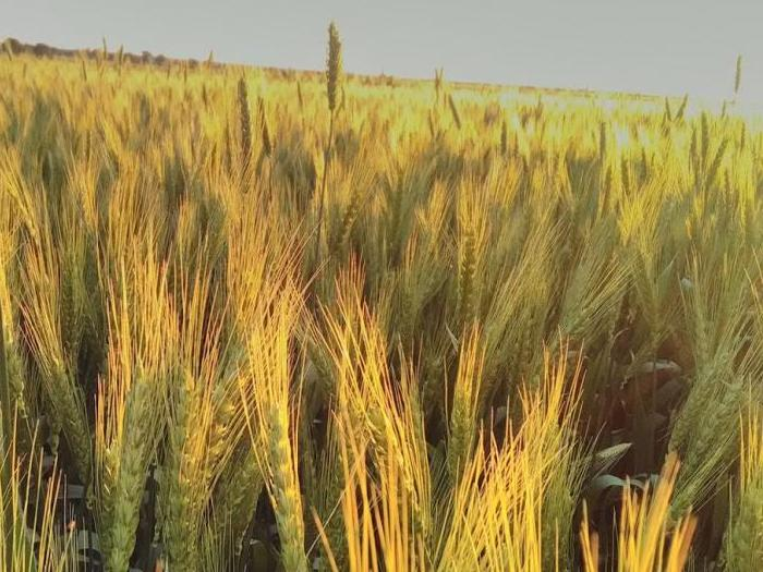 Добивите от пшеница в света ще надминат 720 млн. тона