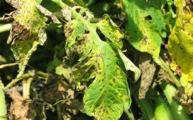 Alternaria solani може да нападне доматите във всяка фаза от растежа им