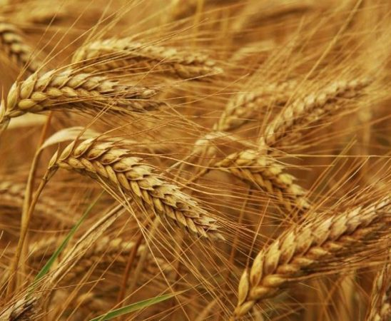 Ръст в потреблението на пшеница и царевица прогнозират експертите