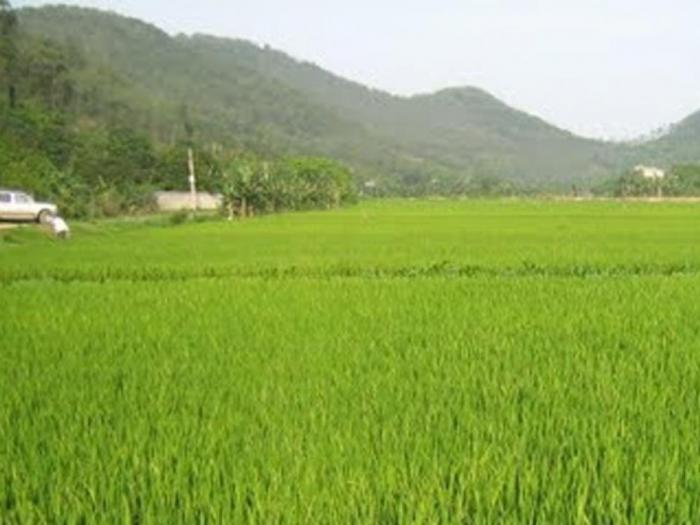 Спад в производството  на ориз очакват експерти