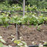 Начини и видове резитби при лозата