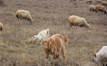 Със заповед на Министъра на земеделието и храните се отменя забраната за движение  на  живи дребни преживни животни от областите Бургас