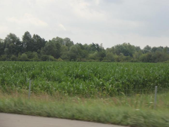 Най-много царевица ще бъде прибрана във Франция – около 16 милиона тона