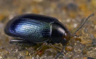 Бръмбарите се хранят с младите листа