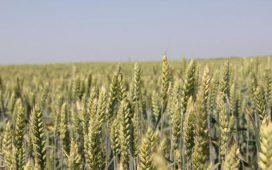 Средните добиви при меката пшеница ще са с 8