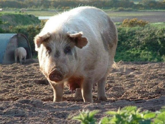 Всичките 190 свиневъдни обекта