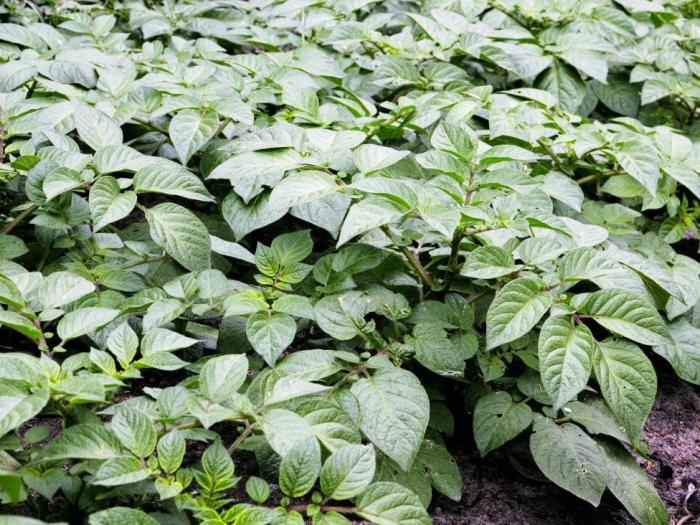 На 09 ноември 2012 година в гр. Трън ще се проведе Празник на картофите 2012.