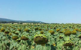 През 2017 г. Синджента прави поредна стъпка напред в обогатяване на своята продуктова листа в слънчоглед