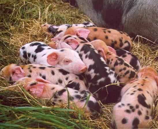 На Комитета по обща организация на пазара на земеделски продукти в Брюксел бе взето решение да се подпомогне свиневъдството
