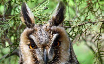 20 ушати сови /Asio otus/са новодомци в Природен парк Българка