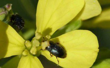 Ларвите се развиват вътре в цветните пъпки като изгризват тичинките и венчелистчетата